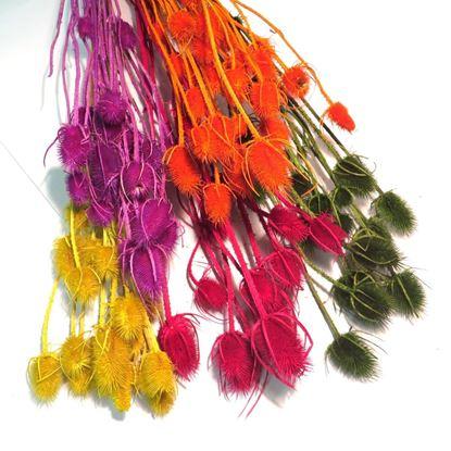 Obrázek Cardi palustri - barevné (svazek)