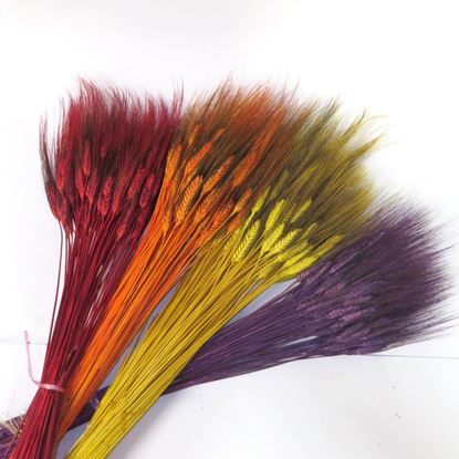Obrázek Grano triticum (pšenice) - barevná (svazek)