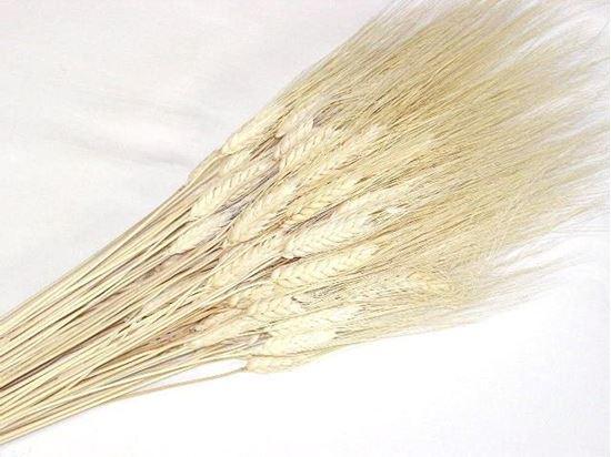 Picture of Grano triticum (pšenice) - bílá (svazek)