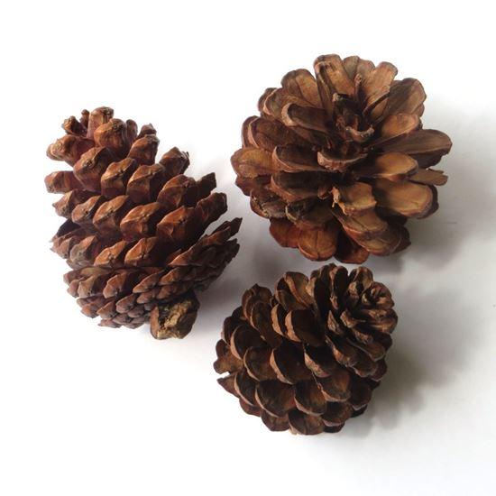 Obrázek z Blue pine - šišky přírodní (20ks)