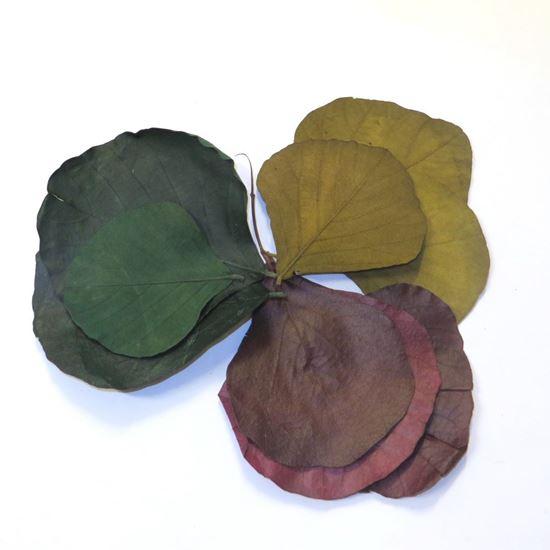 Obrázek z Cobra leaves - barevné (50ks)