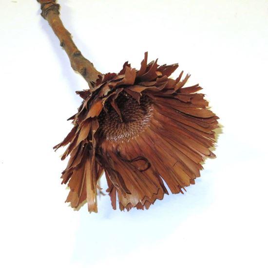 Obrázok z Obtusfolia (5ks)